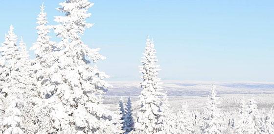 Granar i vinterlandskap